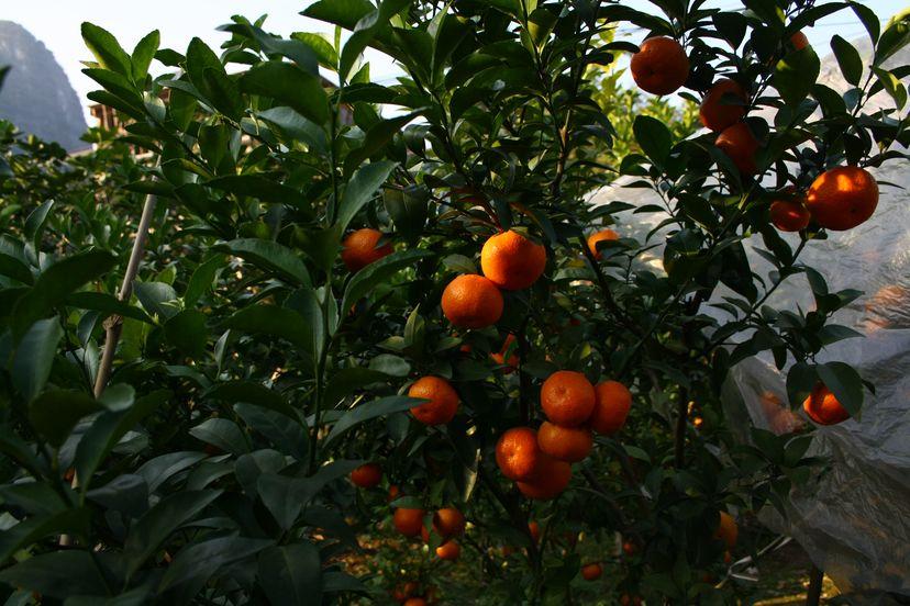 мандарины в Синпине