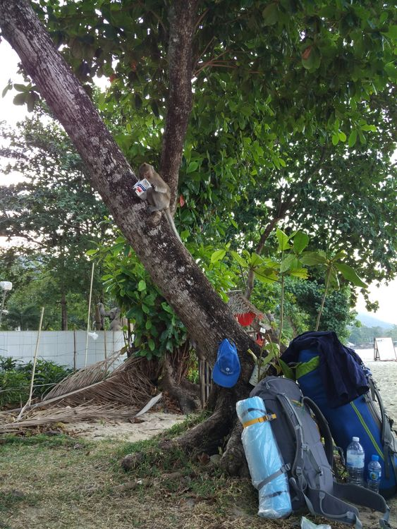 обезьяна тайланд