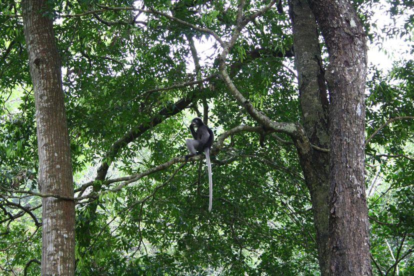 обезьяны каенг крачан