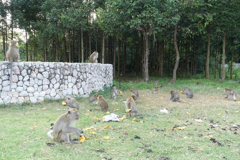 обезьяны в Сонгкхла