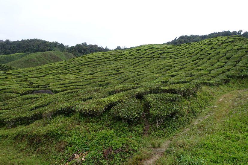 чайные плантации Малайзия