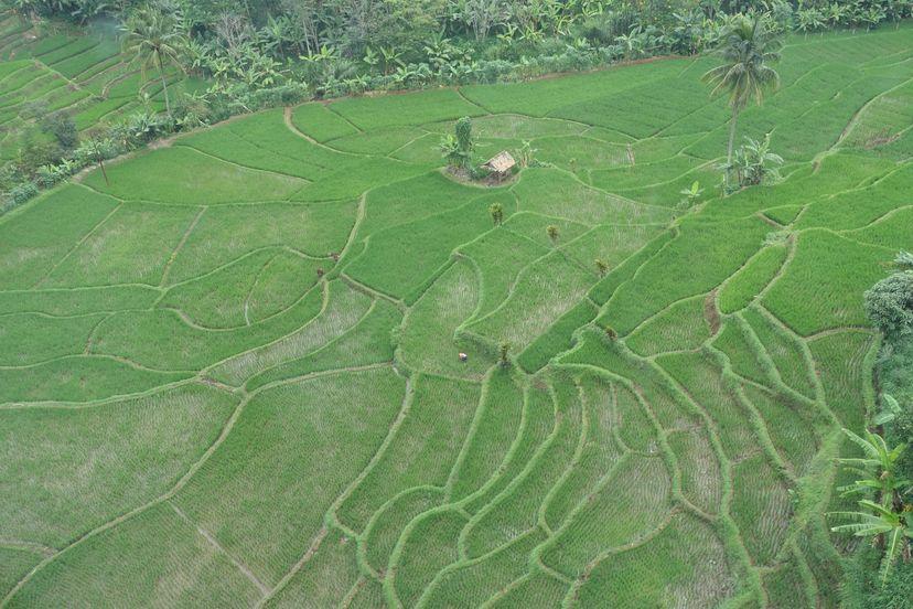 рисовые поля на Яве