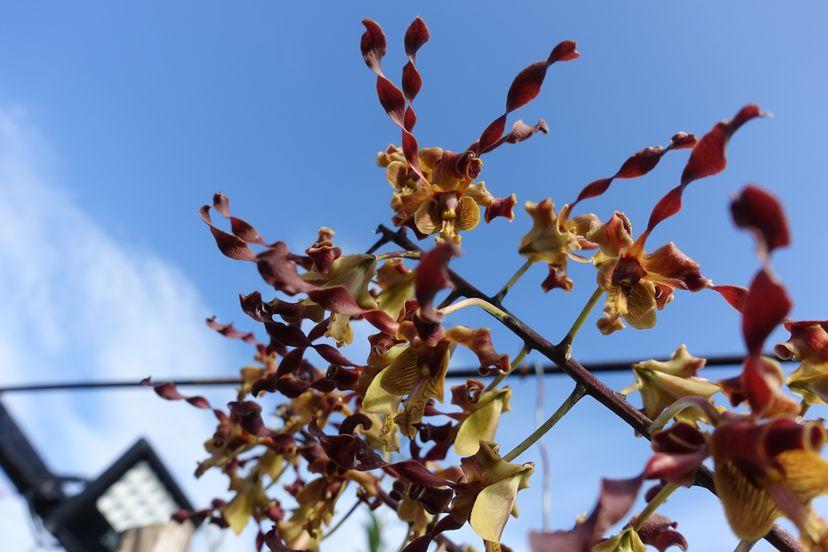 орхидеи Бандунг Ява Индонезия