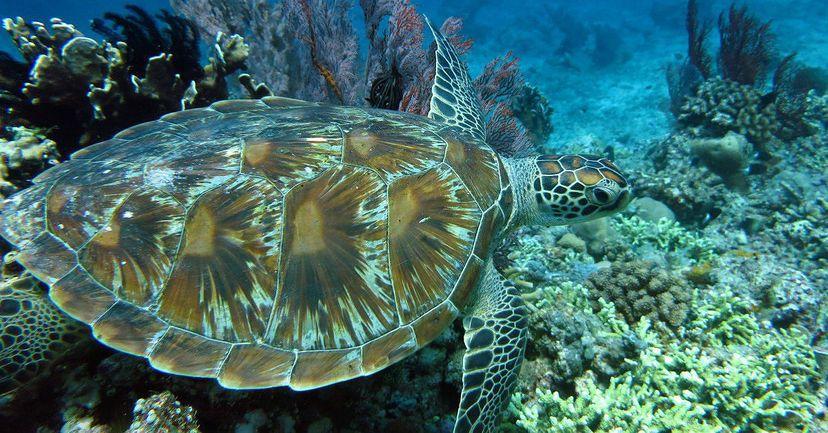 морские черепахи - сноркелинг на Гили