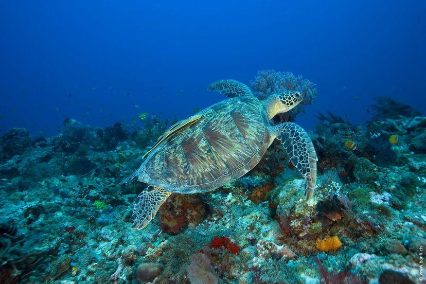 черепахи сноркелинг на Гили