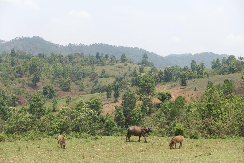 быки в Мьянме