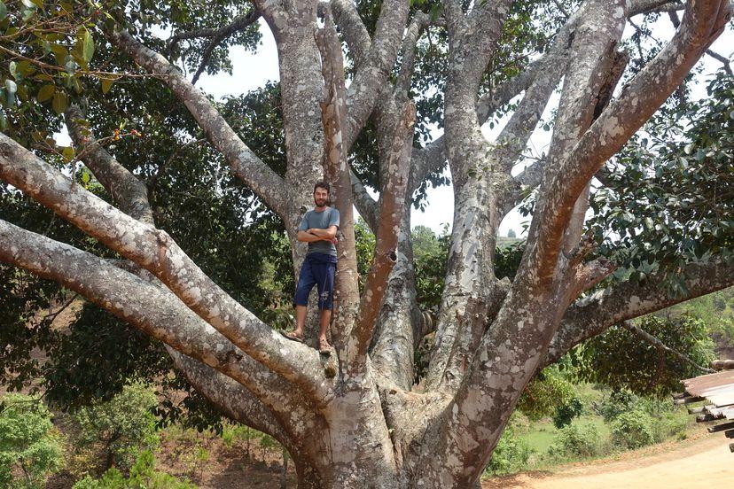 дерево Баньян