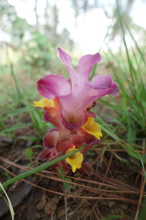 красивый цветок в Мьянме