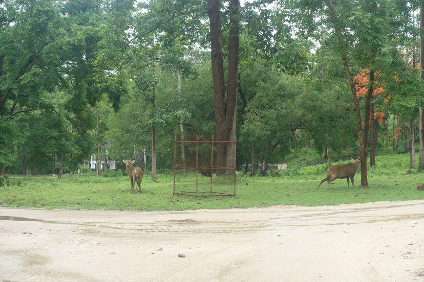 олени в Таиланде