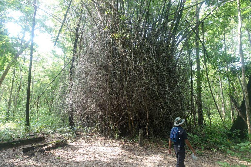 бамбук в Таиланде