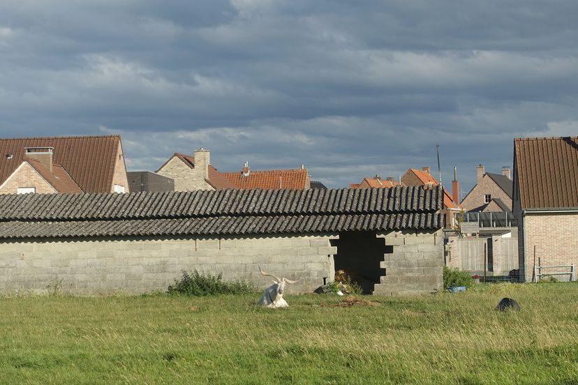 бельгийский козел