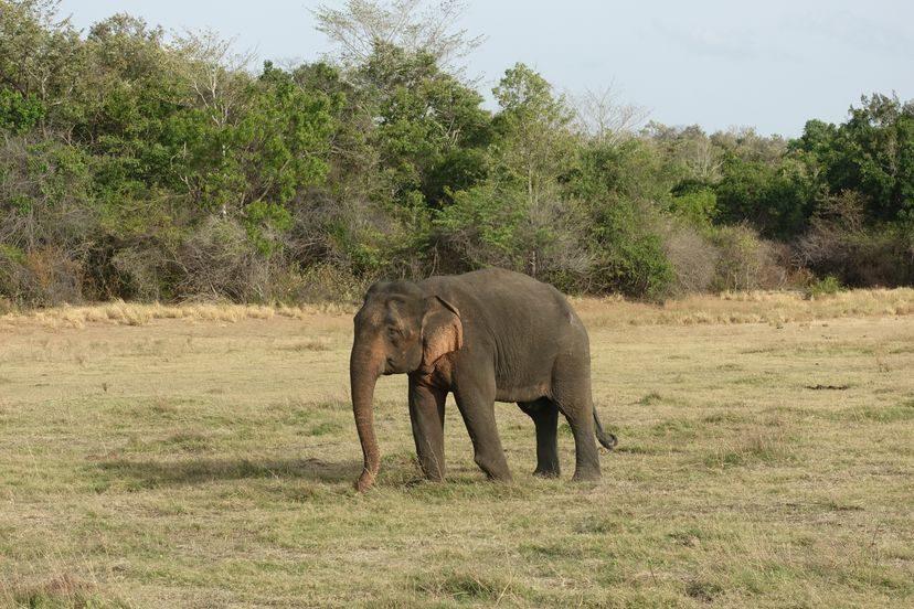 слон Шри-Ланка