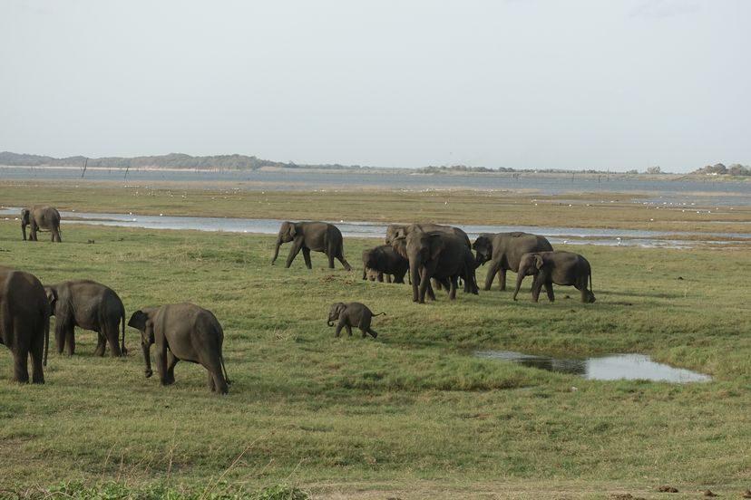 слоны в нац.парке на Шри-Ланке