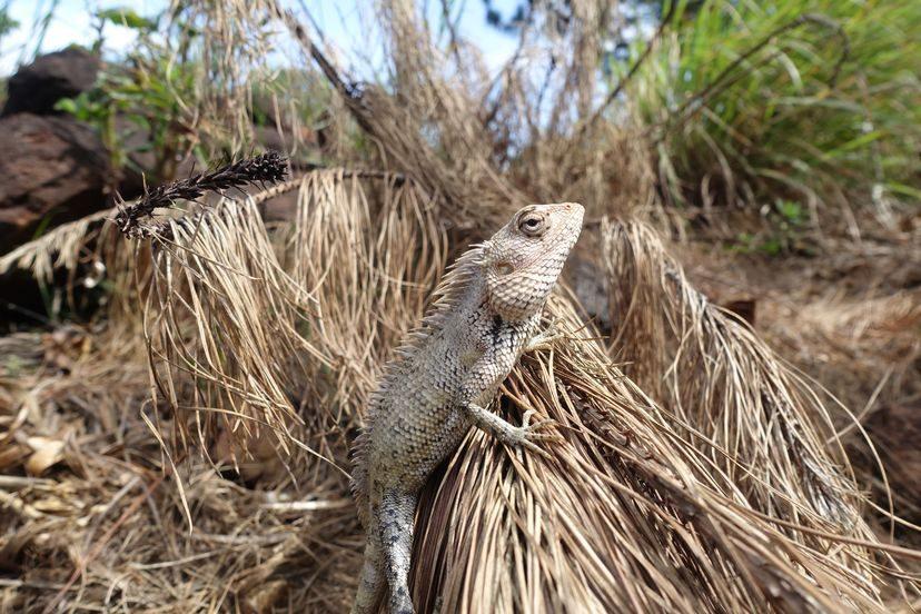 ящерица Шри-Ланка