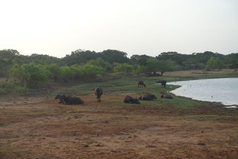 буйволы на Шри-Ланке