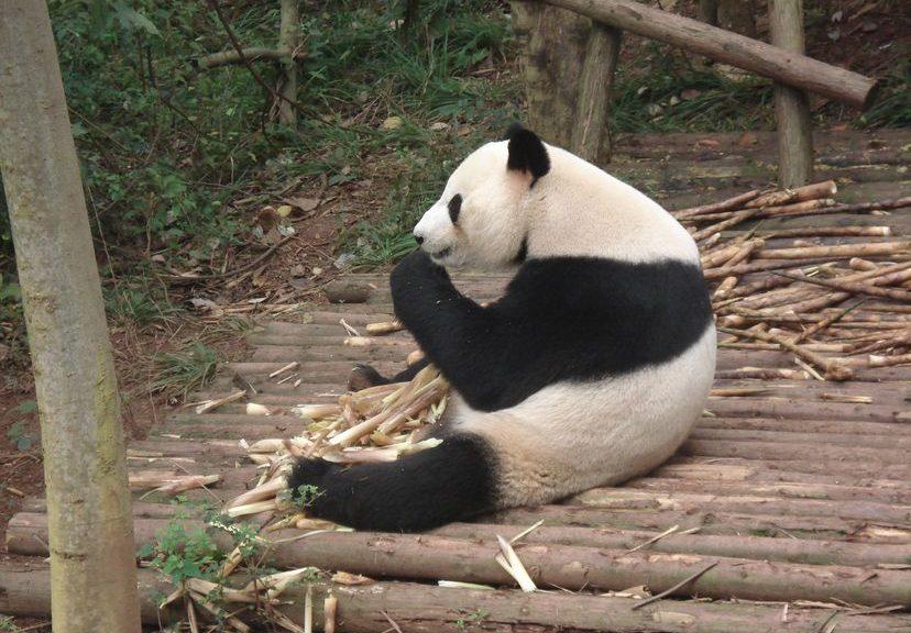 Ченду (Сычуань): храмы, кухня и панды. Путешествие длиною в год