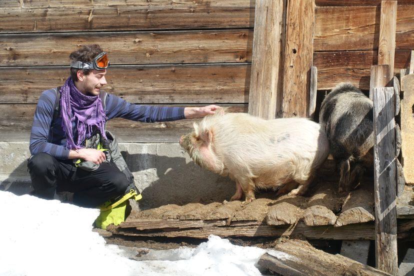 альпийские свиньи