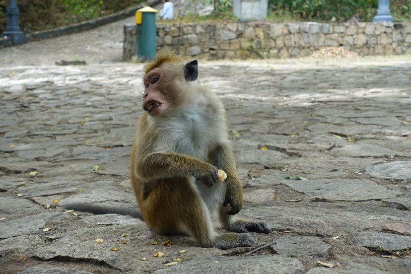 обезьяна на Шри-Ланке