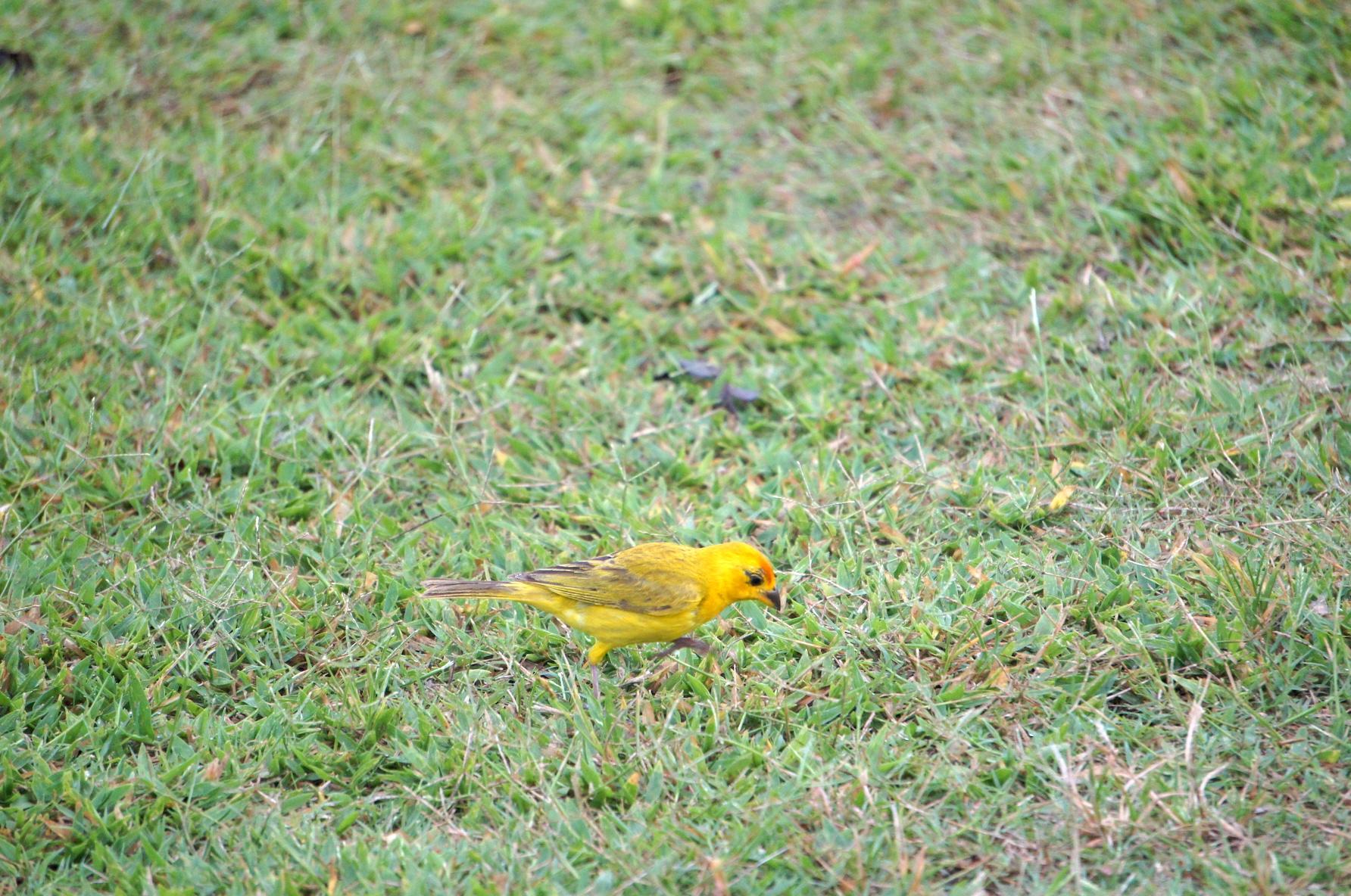 желтые птицы в Пантанале