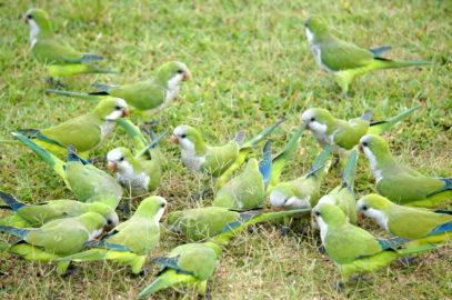 Попугаи-монахи в Пантанале.