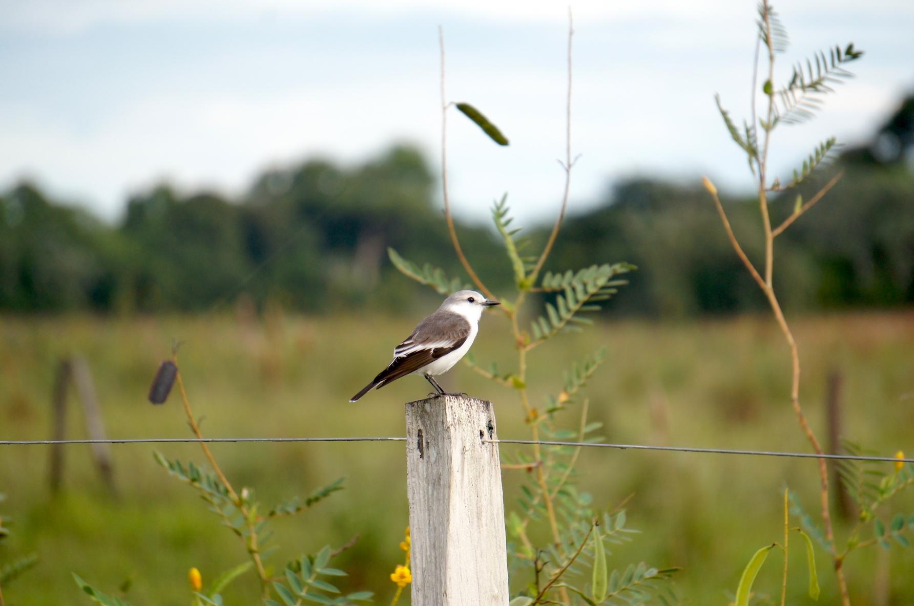красивая птичка в Пантанале
