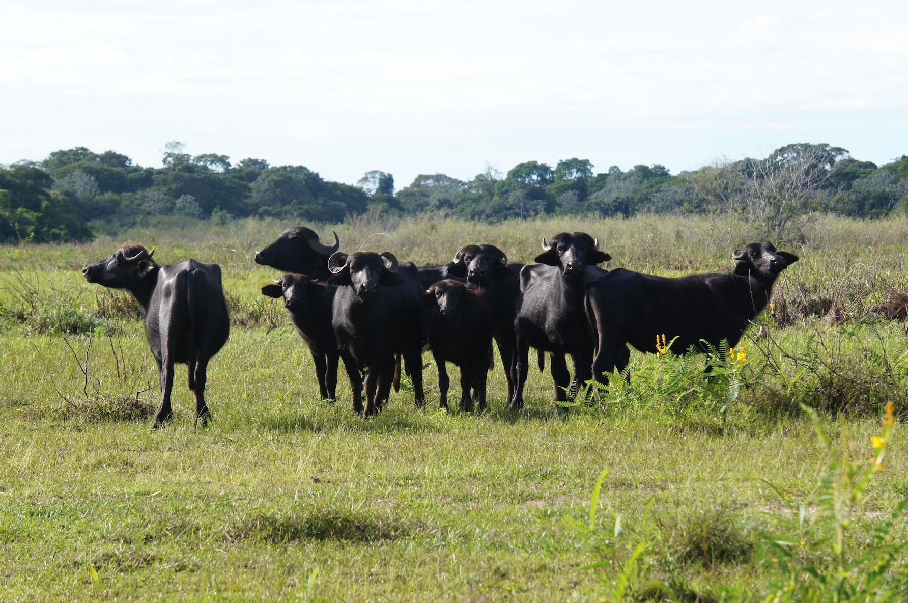Полудикие буйволы в Пантанале