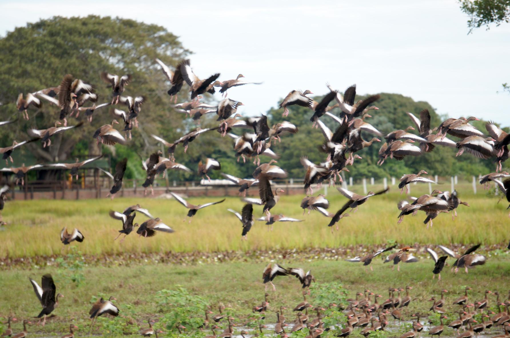 перелетные птицы в заповеднике Пантанал