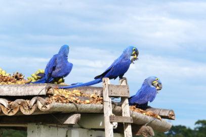 Гиацинтовый ара в Пантанале.